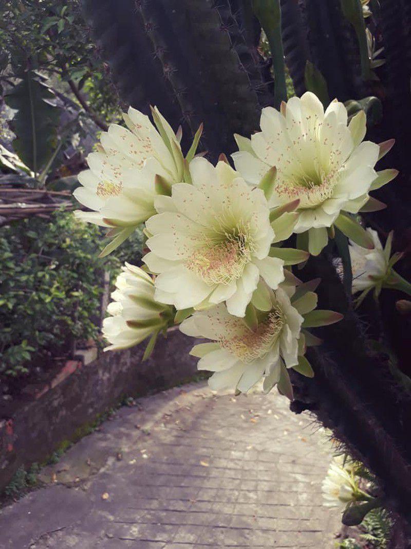 hoa xương rồng màu trắng 4