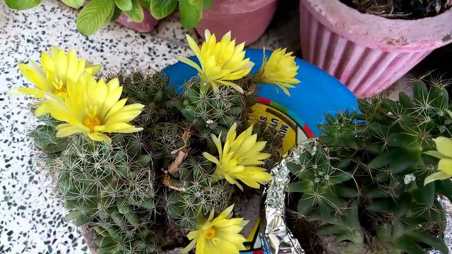 hoa xương rồng màu vàng 5