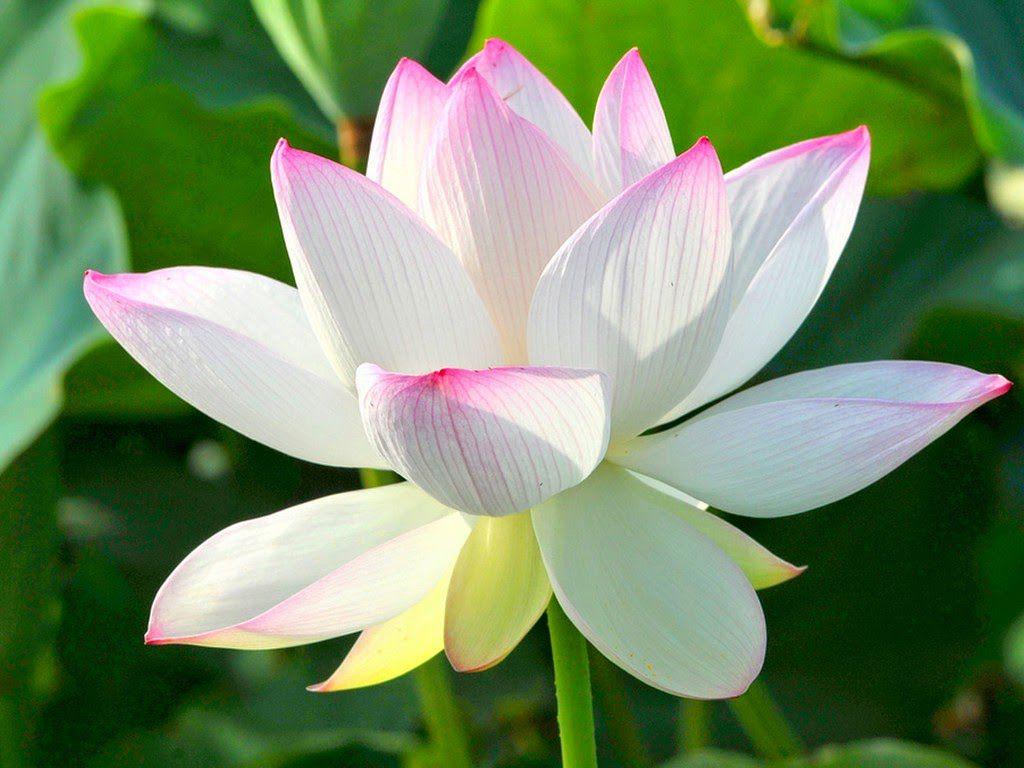 ý nghĩa hoa sen tại việt nam