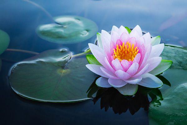 ý nghĩa hoa sen theo màu sắc